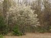 Amelanchier arborea