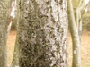 Gray fissured mature bark.