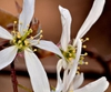 Amelanchier laevis flower