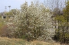 Amelanchier arborea var. arborea