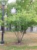 Amelanchier arborea var. laevis
