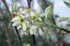 Amelanchier x grandiflora