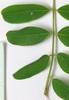 Amorpha fruiticosa