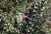 Amorpha herbacea