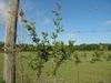 Ampelopsis arborea