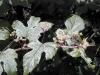 Ampelopsis brevipedunculata