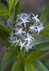 Photo of Amsonia tabernaemontana
