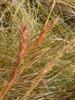 Andropogon glomeratus inflorescence