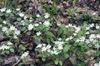 Anemone quinquefolia