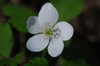 Five petaled white flower