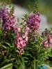Angelonia angustifolia 'Serena'