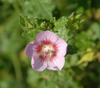 Anisodontea capensis 'Slightly Strawberry'