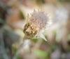 Antennaria solitaria
