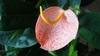 Anthurium scherzerianum