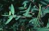 Apocynum cannabinum leaves
