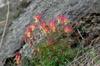Aquilegia canadensis plant