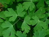 Aquilegia canadensis -leaves