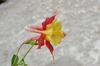 Aquilegia canadensis flower