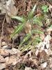 Arachniodes simplicior 'Variegata'