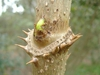 Aralia spinosa - axil prickles