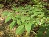Aralia spinosa - compound leaf