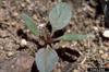 Aramanthus retroflexus