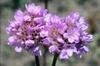 Armeria maritima flower