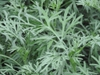 Artemisia absinthium leaves