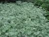 Artemisia absinthium form