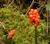 Arum Maculatum fruit