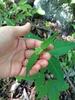 Asclepias quadrifolia