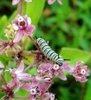 Flower with monarch caterpillar
