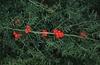 Asparagus densiflorus (Sprengeri group)