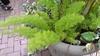 Asparagus densiflorus