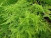 Asparagus plumosus habit