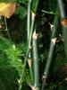Asparagus plumosus stem
