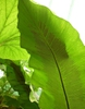 Asplenium nidus leaf underside