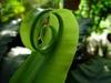 Asplenium nidus new leaf