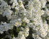 Covered in showy white flowers.