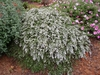 Aster ericoides 'Snow Flurry' Form