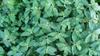 Euphorbia hirta  leaves