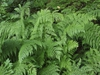 Photo of Athyrium filix-femina