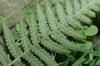 Athyrium japonicum