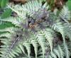 Athyrium niponocum pictum