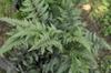 Athyrium nipponicum