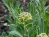 Flower buds and gray-green leaves