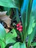 Rohdea berries