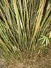 Bambusa multiplex
