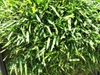 Bambusa multiplex dense form and leaves