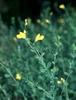 Baptisia spp.